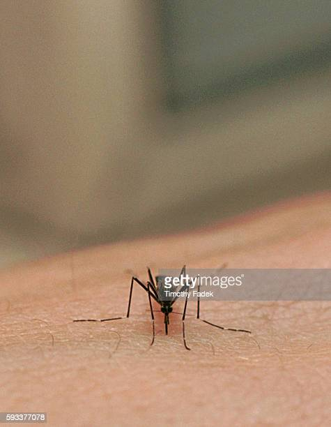 View of an Aedes japoicus mosquito biting a host It is one of the species responsible for the spread of West Nile Virus on the East Coast