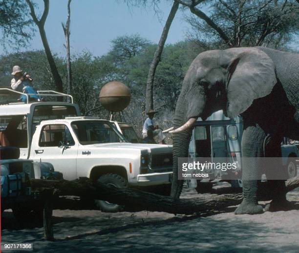 View of an elephant as it approaches vehicle in a tourist safari camp Botswana 1980s