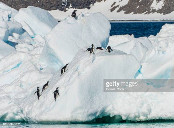 view of an iceberg in the antarctic sound, antarctica with adelie penguins on it. climbing up a steep slope. - antarctic sound stock pictures, royalty-free photos & images