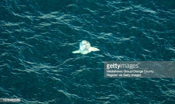 View of an ocean sunfish off the Newport Beach coast during a new eco-tour put on by IEX Helicopters out of John Wayne Airport in Santa Ana, on...