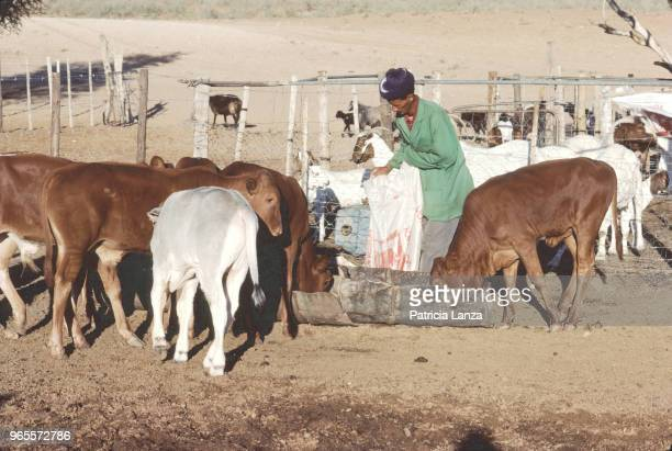 View of an unidentified farmer as he feeds his herd of cattle in a pen in the Kalahari Desert South Africa 1985