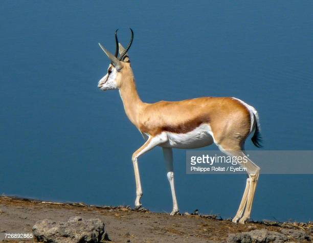 View Of Antelope Against Blue Sky