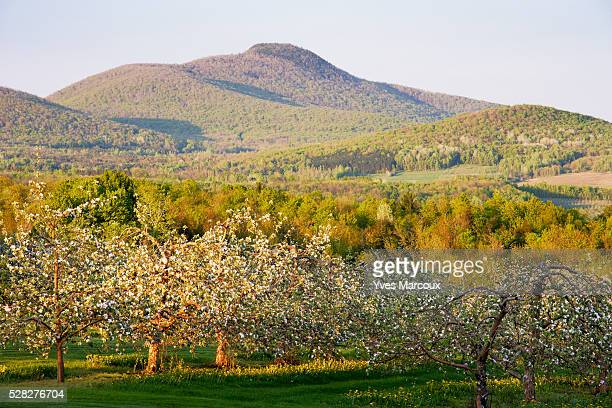 view of apple orchard in bloom and pinacle mountain at sunset, eastern townships, quebec, canada. - eastern townships stock pictures, royalty-free photos & images