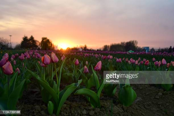 View of Asias largest tulip garden in Srinagar, Indian Administered Kashmir on 03 April 2019. The Asia's largest tulip garden was thrown open for...