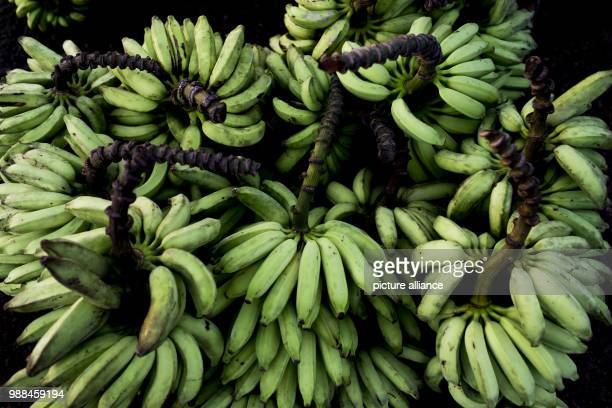 View of banana bundles on sale at the beach in Macapa Brazil 17 November 2017 The equator draws through Macapá but measurements show that it does not...