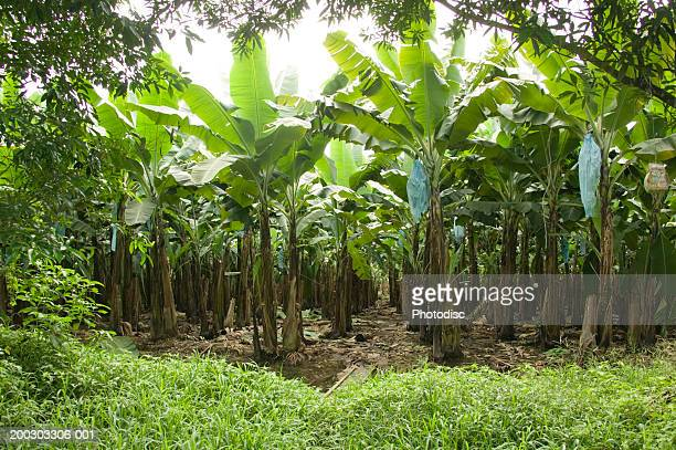 View of banana plantation