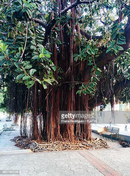 view of banyan tree at roadside - banyan tree stock pictures, royalty-free photos & images