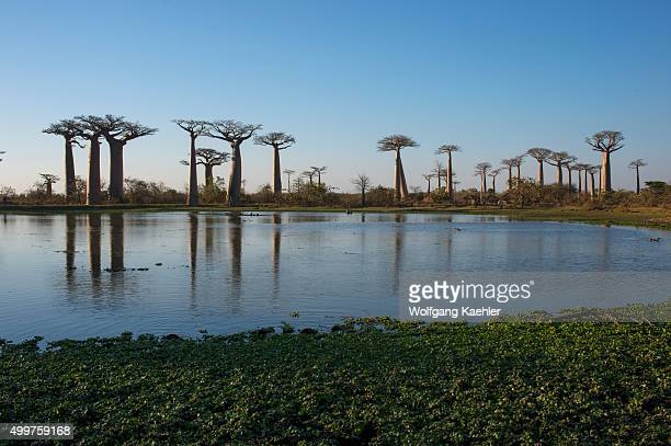 View of Baobab Alley with pond in foreground near Morondava Western Madagascar