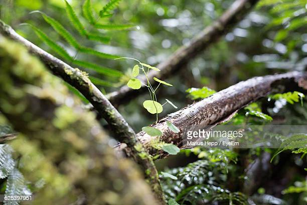 View of Bare Branch In Rainforest