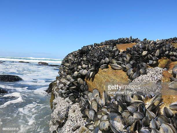 view of barnacle and mussel on rock formation by sea - mussel stock pictures, royalty-free photos & images