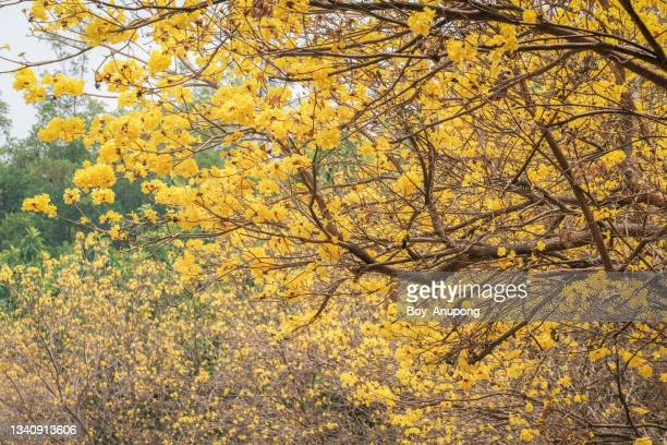 view of beautiful golden trumpet flowers (others name is yellow tabebuia flower) blooming. - handroanthus stock pictures, royalty-free photos & images