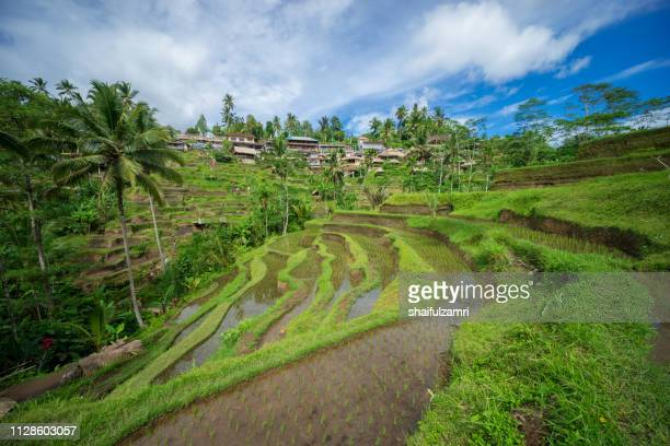 view of beautiful rice terraces in morning light near tegallalang village, ubud, bali, indonesia. - shaifulzamri stock pictures, royalty-free photos & images