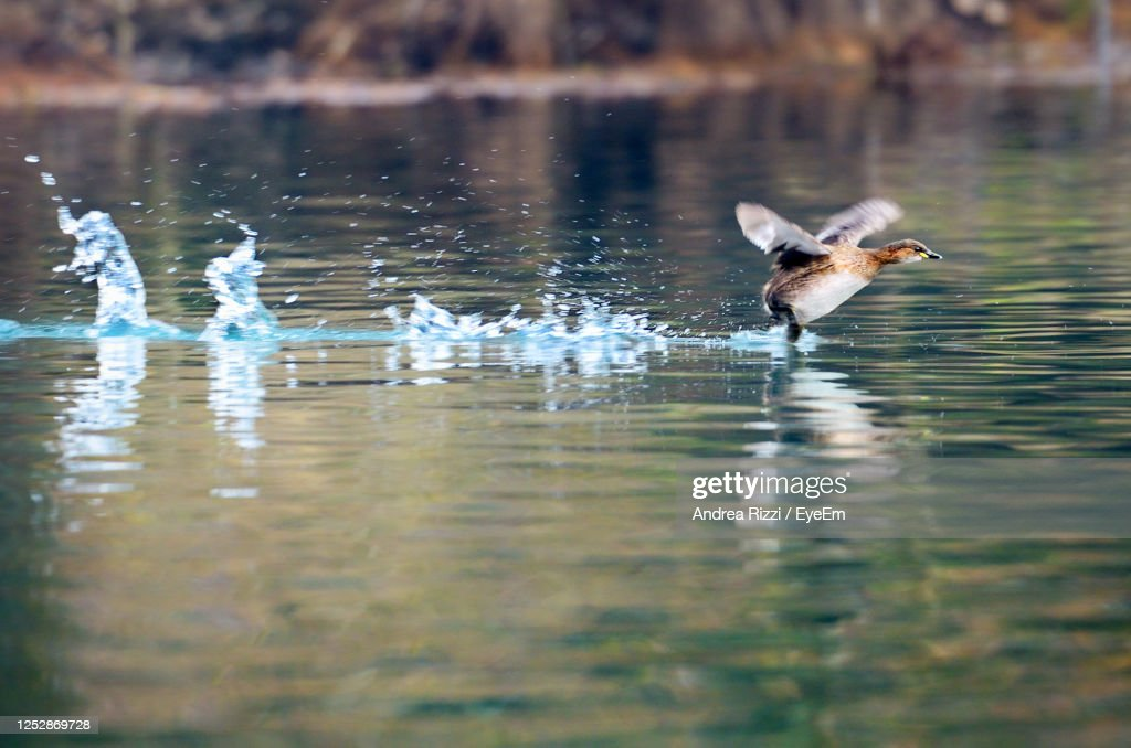 View Of Bird In Lake As The Flight Takes Off : Foto stock