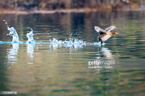 view of bird in lake as the flight takes off - andrea rizzi stock pictures, royalty-free photos & images