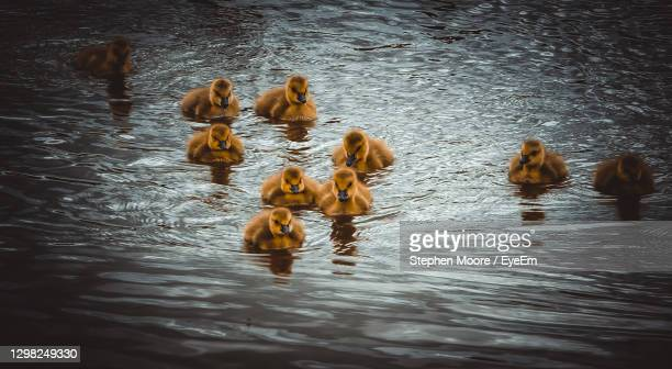 view of birds swimming in lake - medium group of animals stock pictures, royalty-free photos & images
