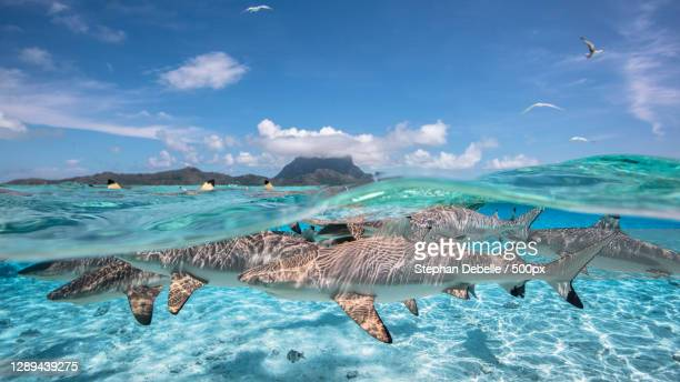 view of blacktip sharks swimming in sea,half under water,bora bora,french polynesia - images stock pictures, royalty-free photos & images