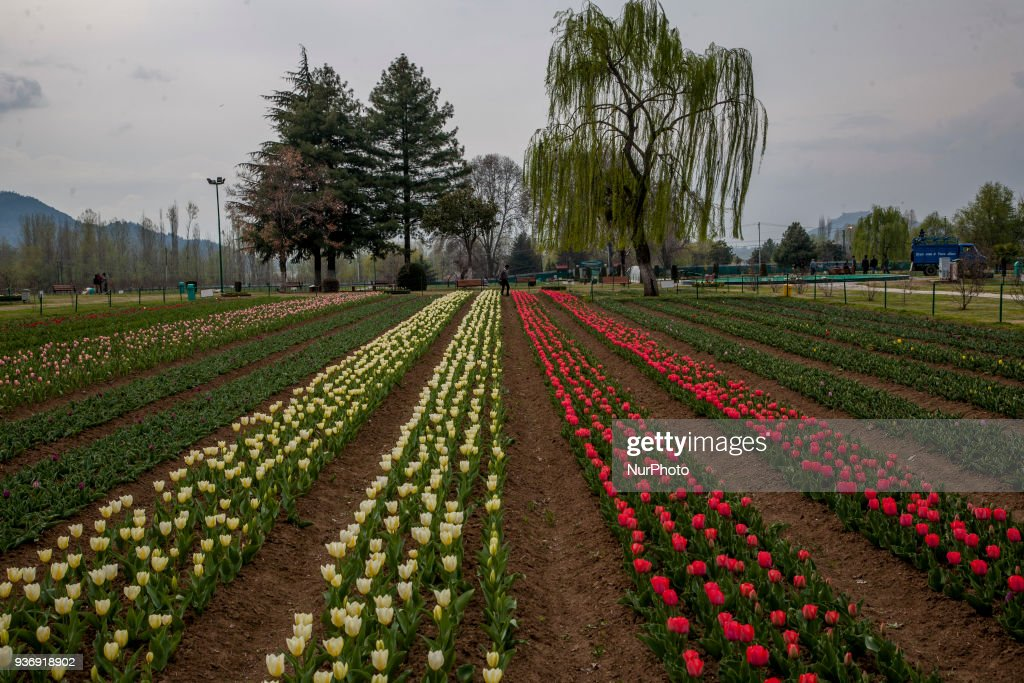 Kashmir Government To Open Tulip Garden