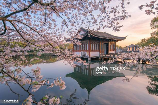 View of blooming cherry blossoms at the Breeze-ruffled Lotus at Quyuan Garden, one of the top ten attractions at West Lake, on March 22, 2021 in...