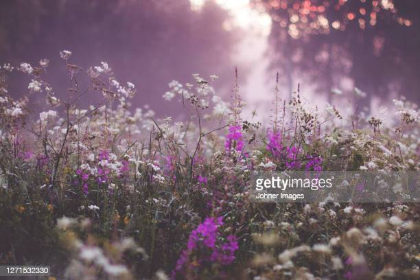 view of blooming wildflowers - sweden stock pictures, royalty-free photos & images
