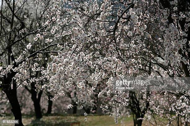 A view of blossom in the almond garden in Baadam Vaer Park on March 18 2010 in Srinagar the summer capital of Indian administered Kashmir India The...