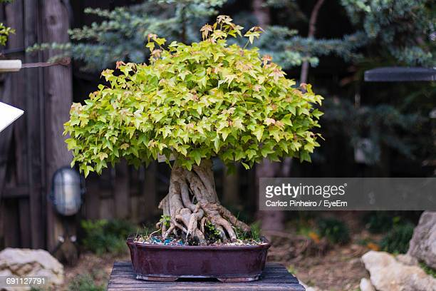 View Of Bonsai Tree