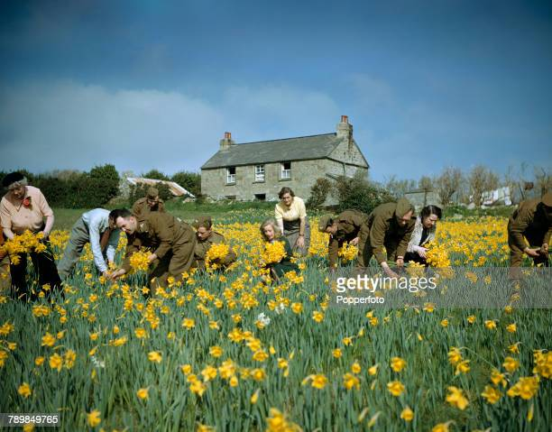 View of British Army soldiers stationed on the island helping local women and residents pick daffodils during the annual spring harvest of blooms on...