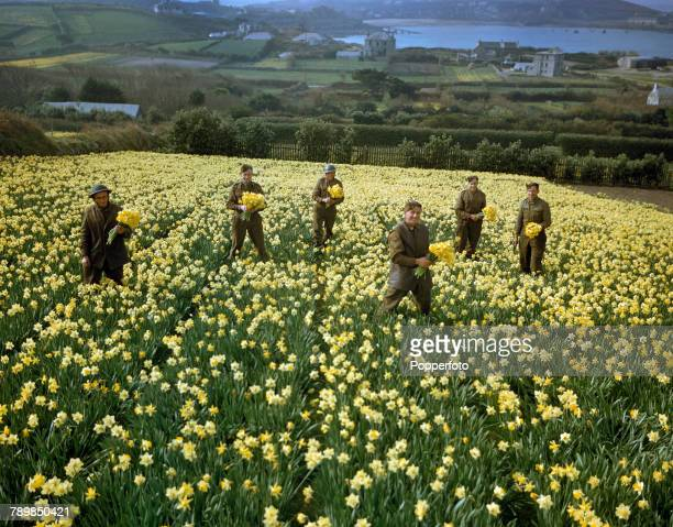 View of British Army soldiers stationed on the island picking daffodils during the annual spring harvest of blooms on the island of St Mary's Isles...
