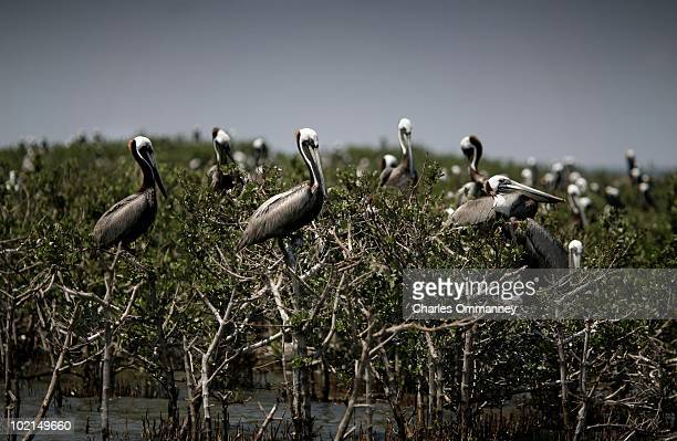 A view of Brown Pelicans in the wetlands on May 27 2010 in Barataria Bay Louisiana The area is home to thousands of brown pelicans egrets and roseate...