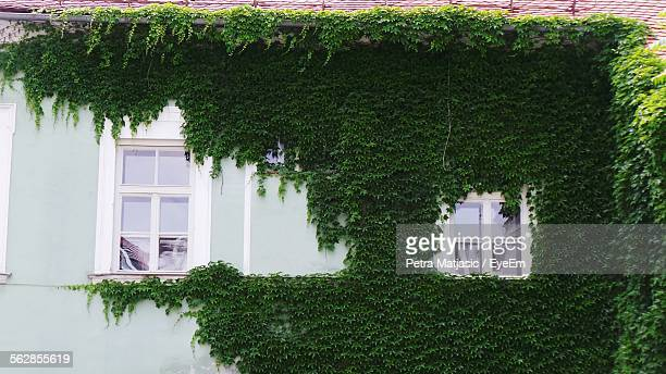 View Of Building Wall Covered With Creeper Plant Leaves