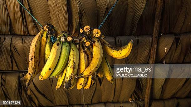 View of bunches of 'Maduro' bananas at a Waorani indigenous hut in Gareno 175 km southeast of Quito Ecuador on December 7 2015 Three Amazonian ethnic...