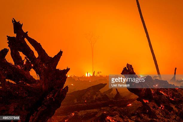 A view of burned stumps aas peatland forest is cleared by burning for a palm oil plantation at a company's grounds on November 1 2015 in the...