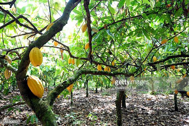 View of cacao pods in Mecicilandia along the TransAmazon highway on May 31 2012 A chocolate factory located along the TransAmazon highway in...