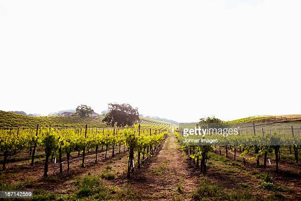 view of californian vineyard, napa valley - wine vineyard stock photos and pictures
