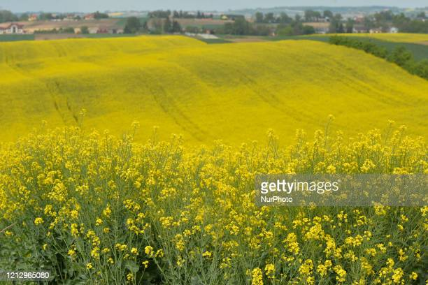 View of canola field near Nowe Brzesko. From May 18th, the third face of unfreezing the economy and loosening restrictions will takes place in Poland...