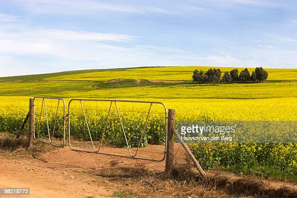 View of Canola (Rapeseed) fields and farm gate, Overberg Region, Western Cape Province, South Africa