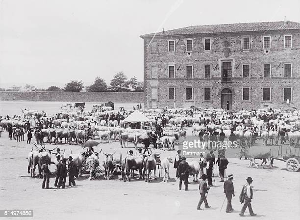 View of Cattle at Market of Tuscana