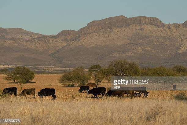 View of cattle grazing in a ranch in Satevo Chihuahua state on December 5 2011 Dry conditions have claimed more than two million acres of crops and...