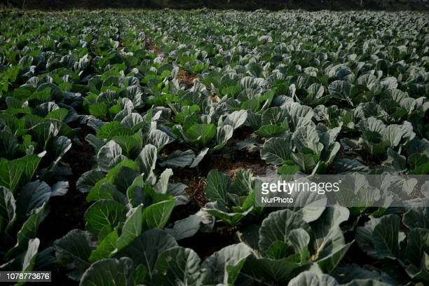 A view of Cauliflower field in Munshigonj near Dhaka Bangladesh On January 04 2019