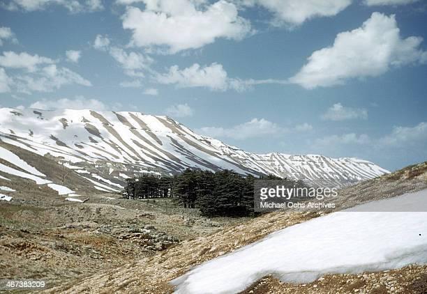 A view of cedar trees on the hills of Bsharri Lebanon