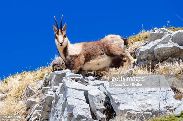 view of chamois on rock against sky - andrea rizzi stock-fotos und bilder