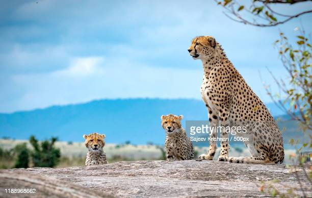 view of cheetah family - big cat stock pictures, royalty-free photos & images