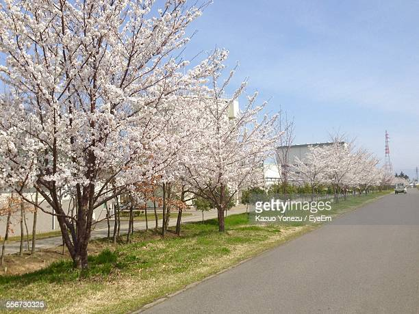 View Of Cherry Blossom Flowers On Cherry Trees