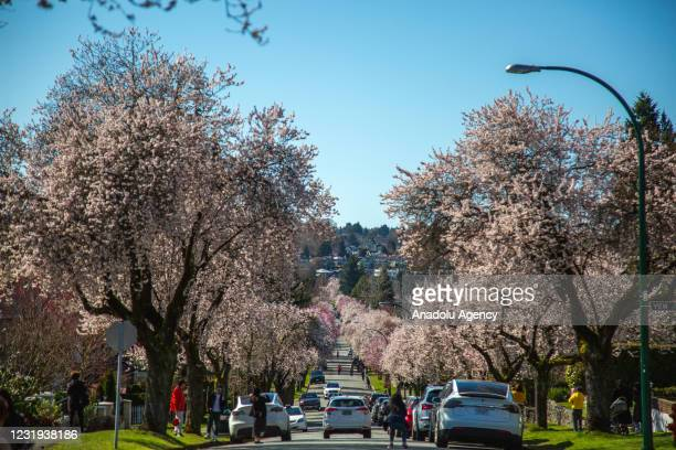 View of cherry blossom trees along the street in Vancouver, British Columbia, Canada on March 25, 2021.