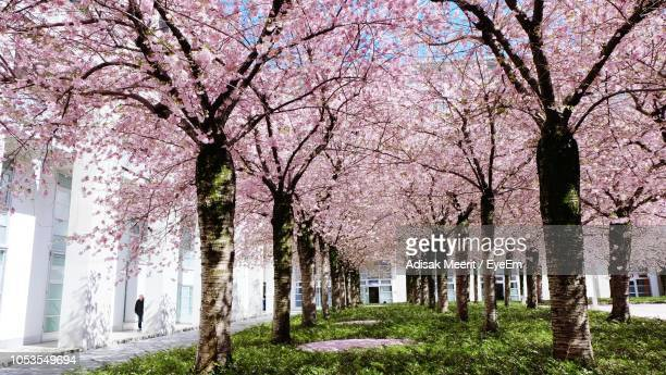 view of cherry blossom trees in park - 並木 ストックフォトと画像
