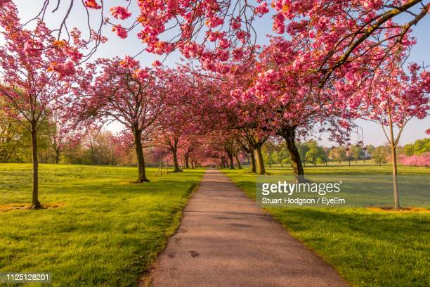 view of cherry blossom trees in park - cherry blossom stock pictures, royalty-free photos & images