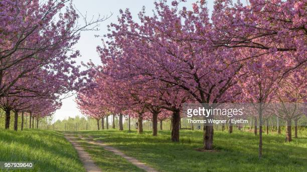 View Of Cherry Blossom Trees On Road