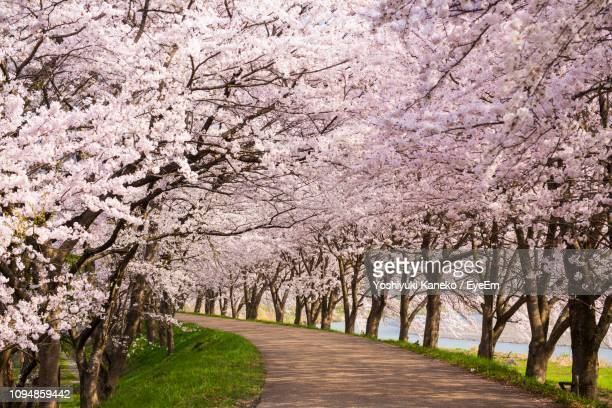 view of cherry blossom trees - cherry blossom stock pictures, royalty-free photos & images