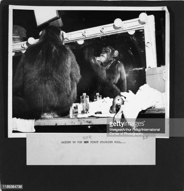 View of chimpanzee actor Cheetah seated in front of a mirror at RKO Studios during the filming of 'Tarzan's Peril' , Hollywood, Los Angeles,...
