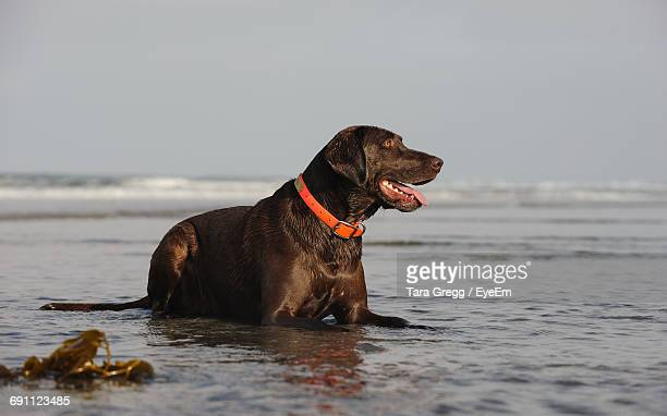 View Of Chocolate Retriever Sitting At Beach