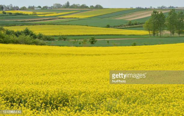 View of colorful farm fields near Nowe Brzesko. From May 18th, the third face of unfreezing the economy and loosening restrictions will takes place...